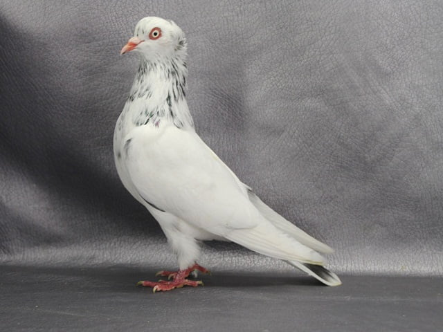 images of white pigeons