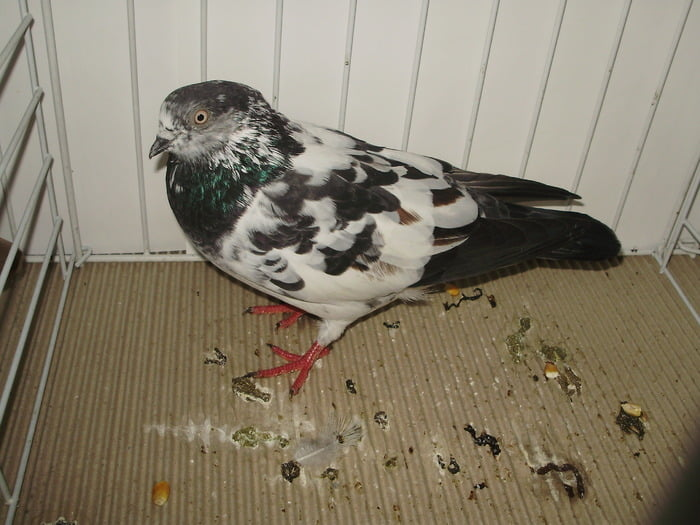 flying show pigeons