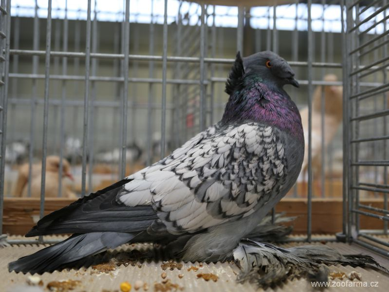 fancy pigeons