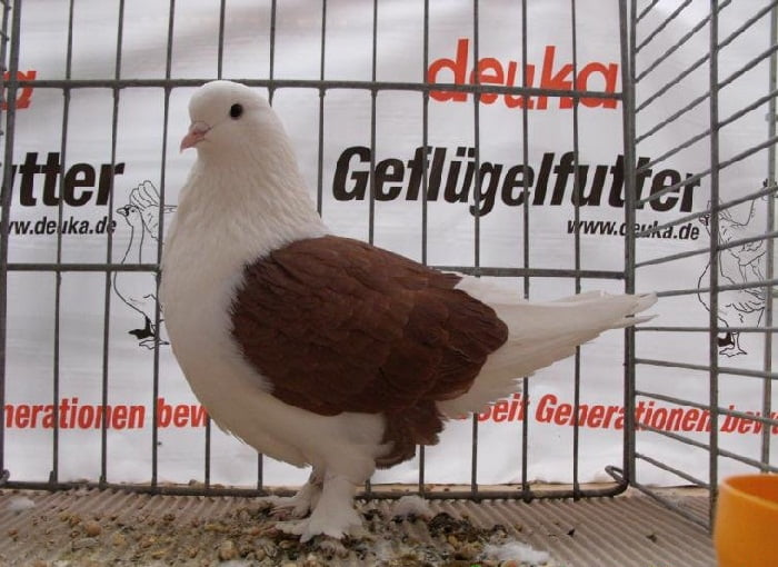 Hochflieger - hi fly pigeon