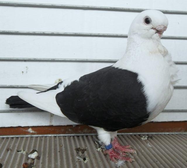 Cravaté - pigeons