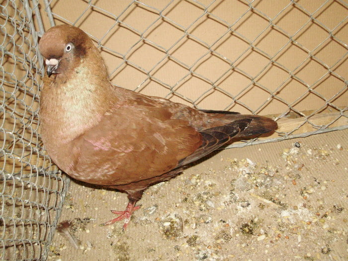tippler - show - pigeons