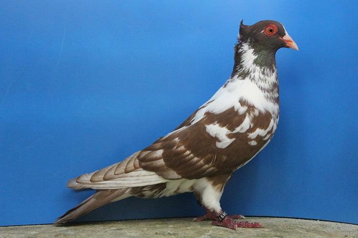 Berner Schweiz Tauben