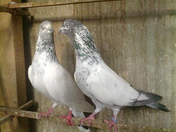 indian-pigeon-breeds - naqaab kabootar