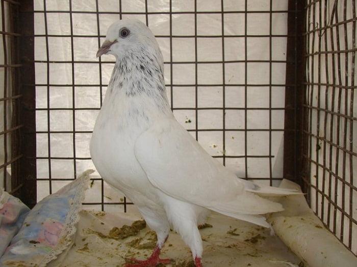 indian pigeons - highflyer - golubovi slike