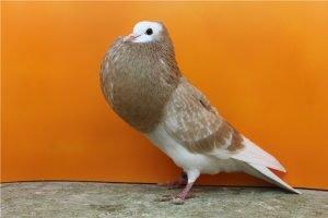 swiss pigeon breeds