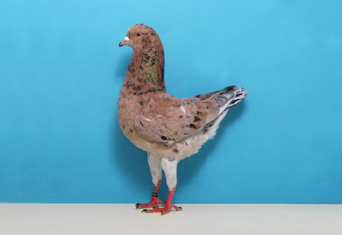 modena pigeons -homing pigeons