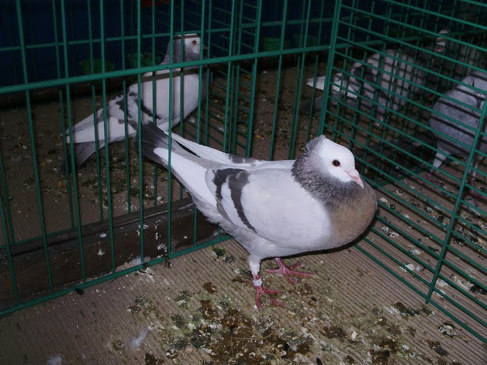 pigeons - pouter - swiss