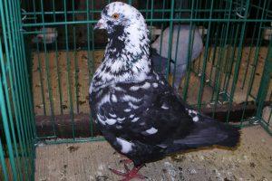 pigeons - hen
