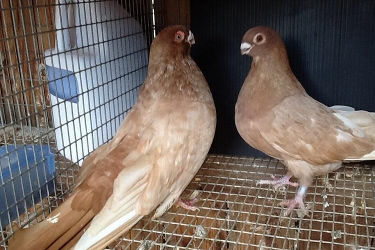 akwall pigeons - es