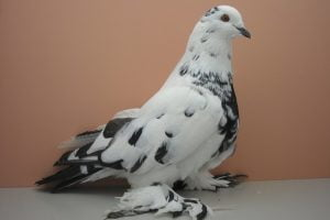 balck and white tiger pigeons