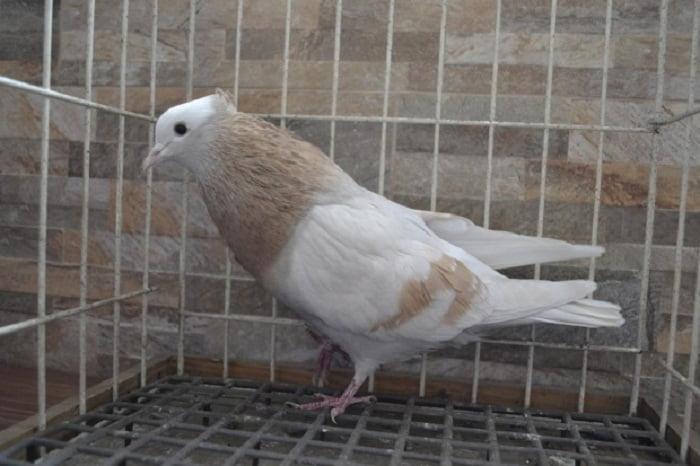 pouter - czech