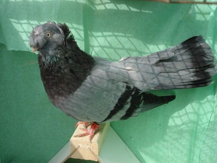 blue-pigeons-romanian-pigeons-species