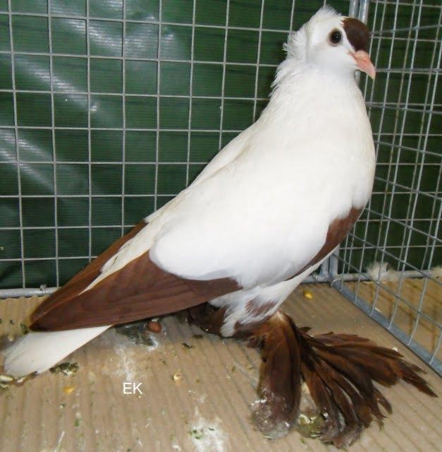 pigeons de saxe
