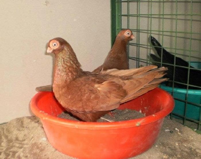 pigeons culbutant