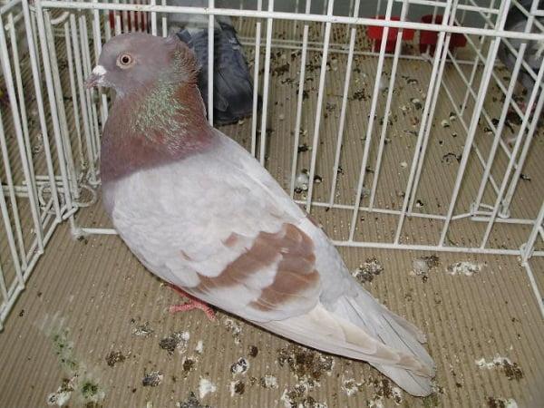 Haut-volant pigeon