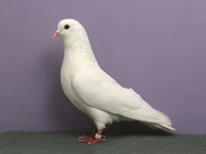trumpeter white pigeons