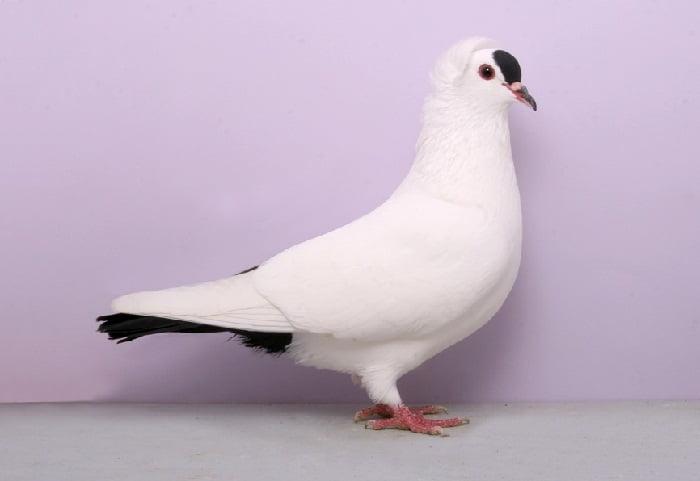 farbentauben - colored pigeon