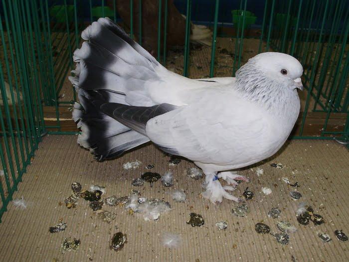 selcuk güvercin - sepet kuyruk