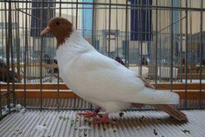 color pigeons - golubovi