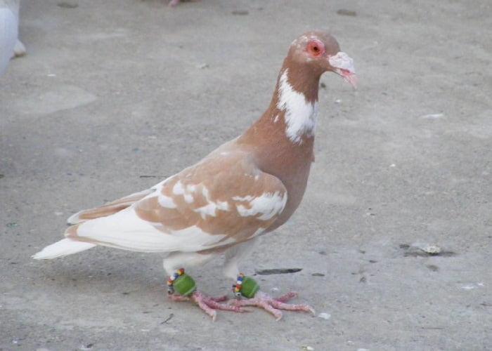 syrian pigeons