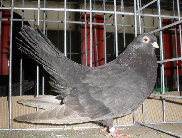 bosna pigeons