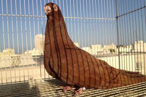 swift - pigeons - egyptian
