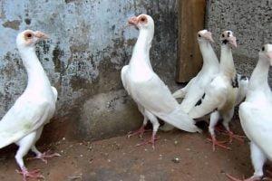 carrier wattle pigeons - messenger