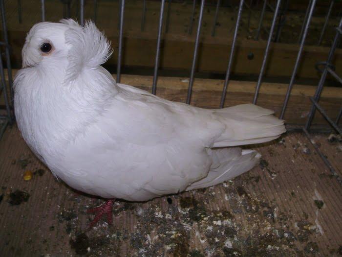 culbutant pigeons