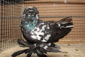 pigeon noire