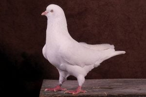 highflyer pigeons