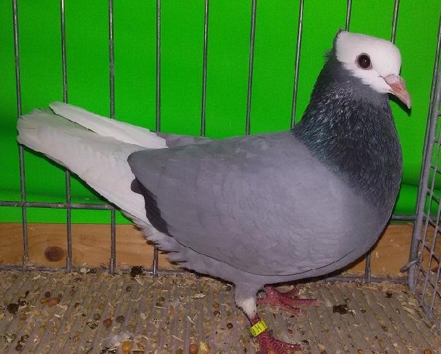 pigeons Allemagne