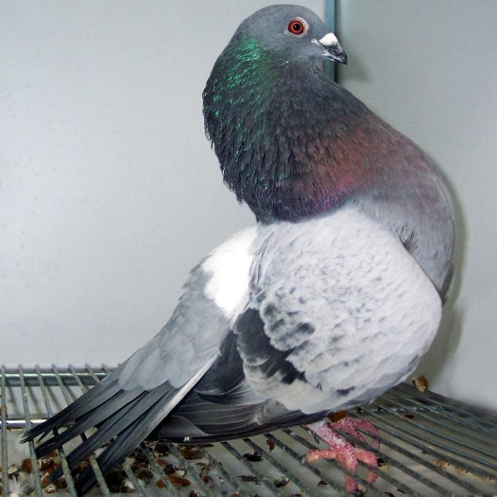 pouter - cropper