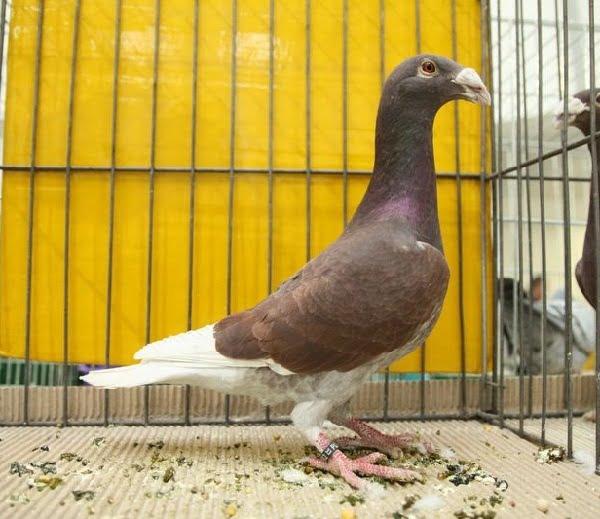 voyageur pigeons