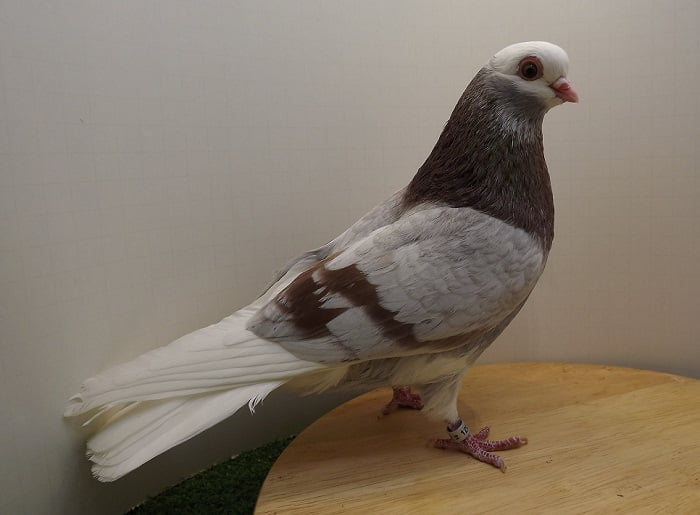 american pigeons - roller -club
