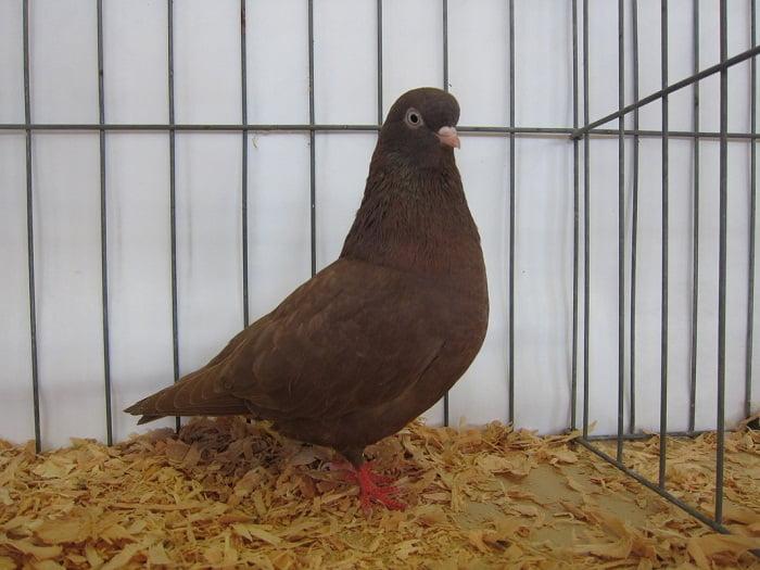 brown pigeons - american