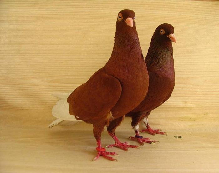 kırmızı güvercin - takla