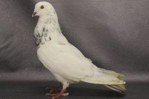 giant pigeon