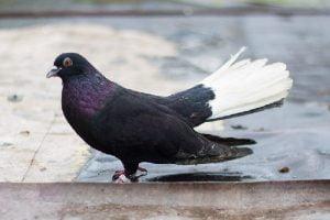 black-whitetail
