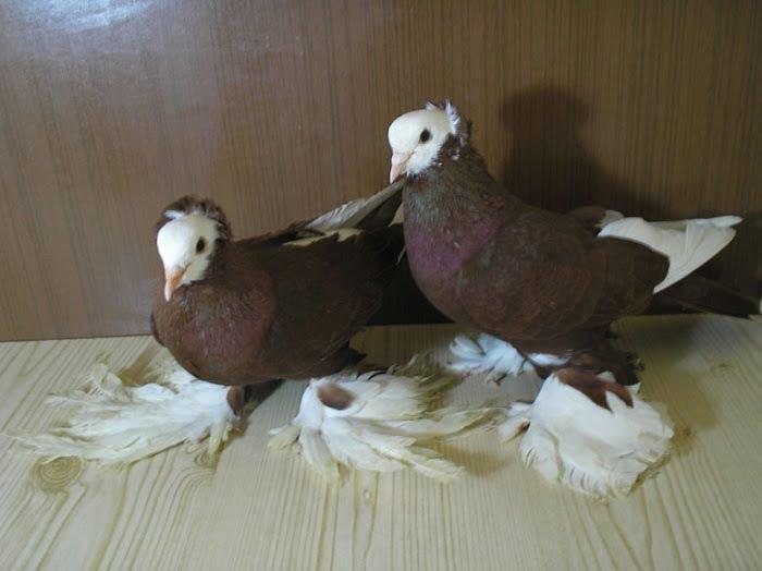 russian tumbler pigeons - red pigeons