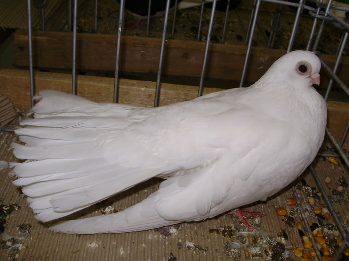 pigeons Culbutant - white pigeons