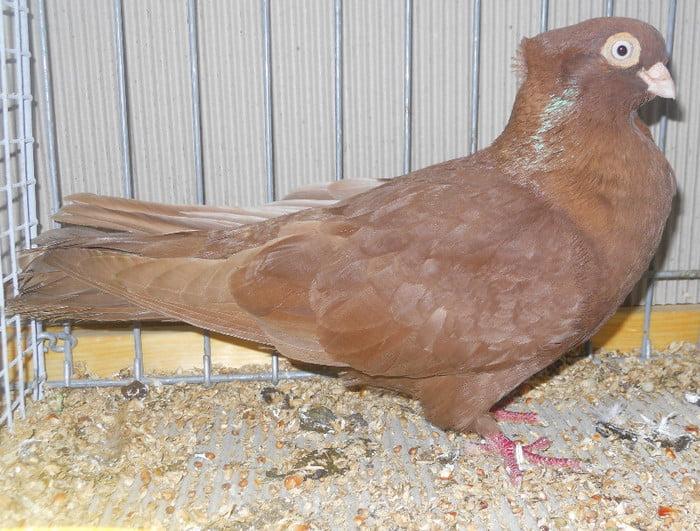 tumbler pigeons - red tumbler pigeons