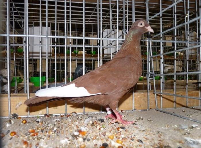 कबूतर का फोटो