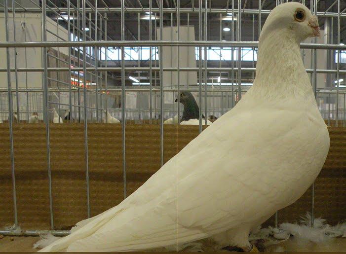 pigeons de forme - voyageur