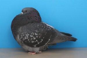 roller pigeons - show roller - american pigeons