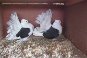 pigeons videos - fantail
