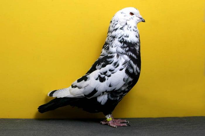 mondain pigeons - american pigeons