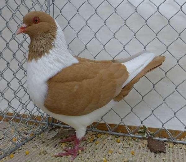 hen mini-bird - aniaml