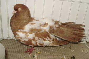 tumbler pigeons - bird - dove