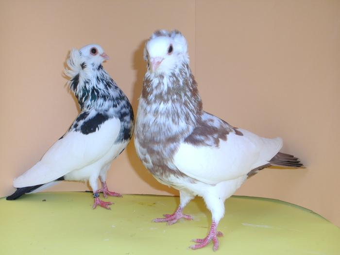 pigeons culbutatnt